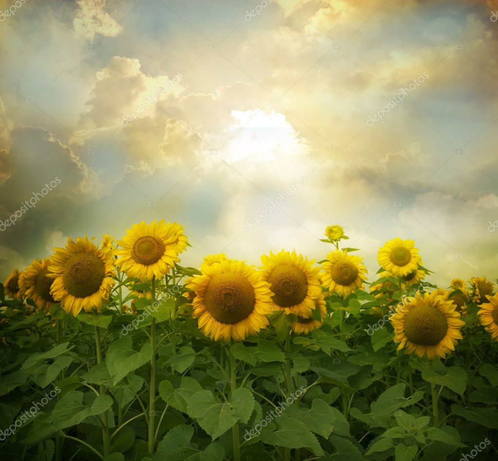 Фотообои Sunflowers