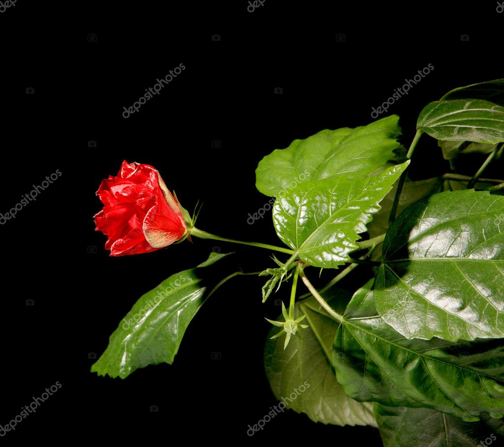 Blooming red roses on a black background (Hibiscus rosa-sinensis