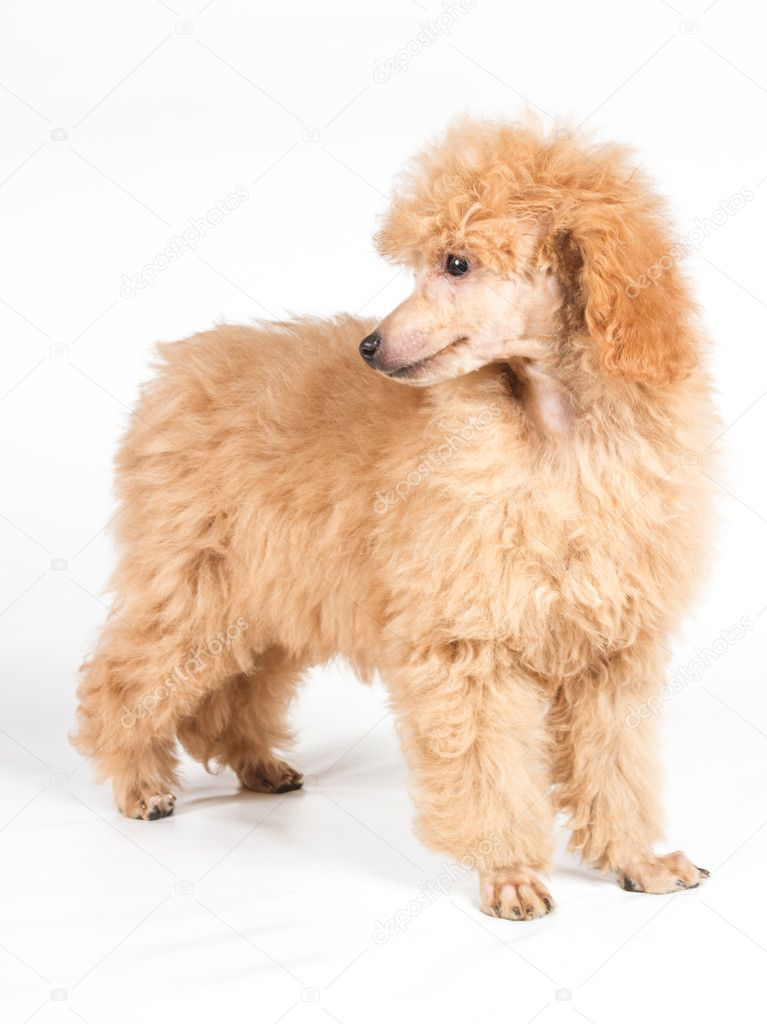 Apricot Poodle Puppy Portrait On A White Background Stock Photo