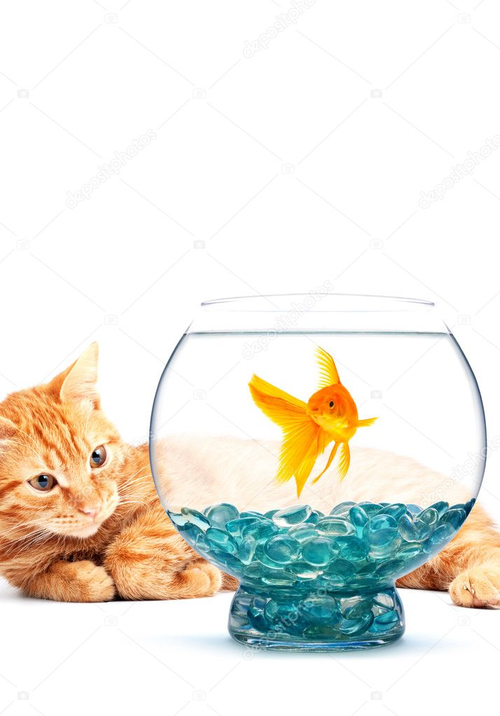 Goldfish and cat