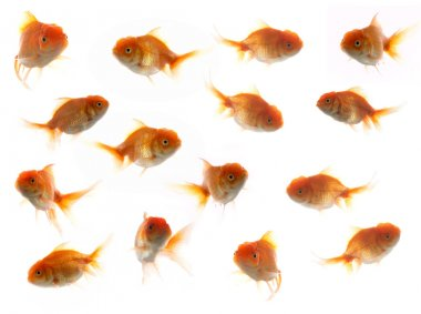 An image of much goldfish stock vector