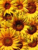 Slunečnice zblízka