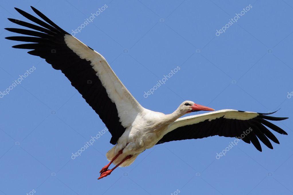 cegonha voando no céu com asas abertas fotografias de stock