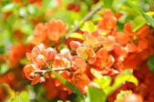 Fotografie Japanese Quince (Chaenomeles) Shrub in Flower
