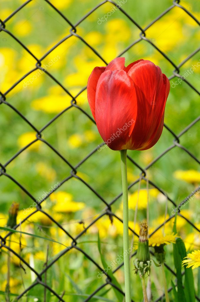 Beautiful Red Tulip by Chain-Link Fence