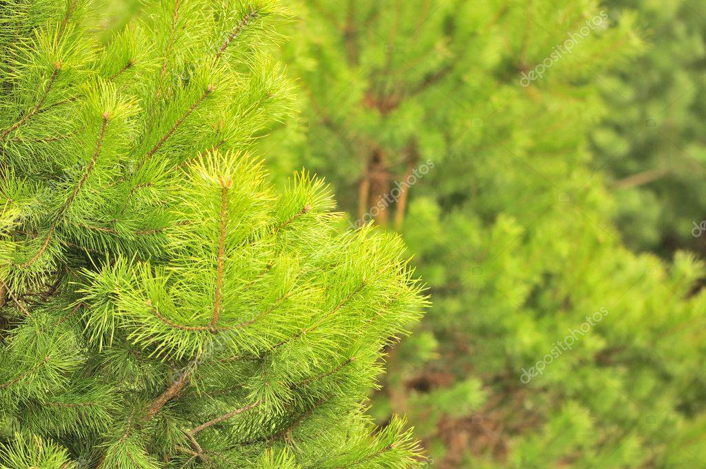 Фотообои Молодые зеленые сосны в лесу