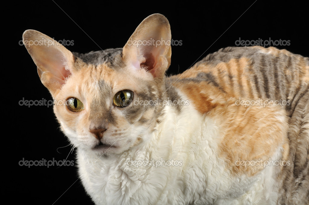 Cornish Rex Kot Z Kręconymi Włosami Zdjęcie Stockowe Digifuture