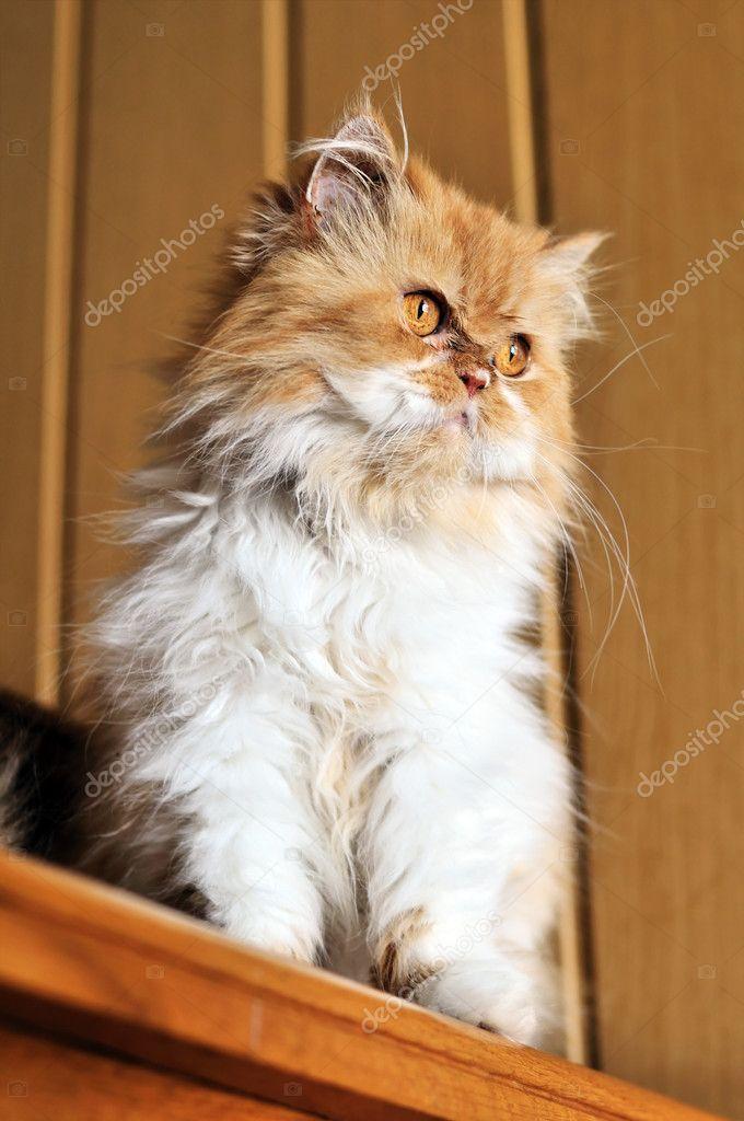 Red persian cat