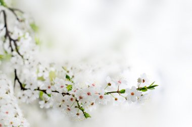 White spring flowers on a tree branch over grey background close
