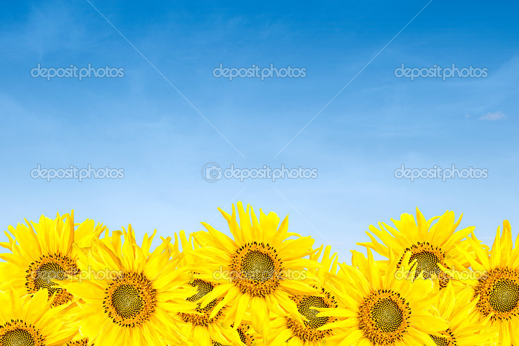 Sunflowers over blue sky in summer
