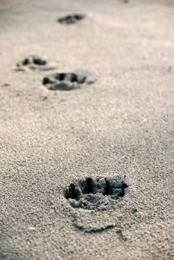 Dog tracks in the wet sand