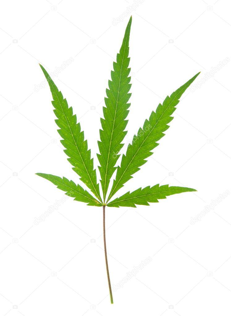 Leaf of hemp
