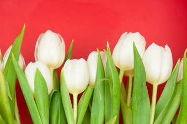 White tulips on red stock vector