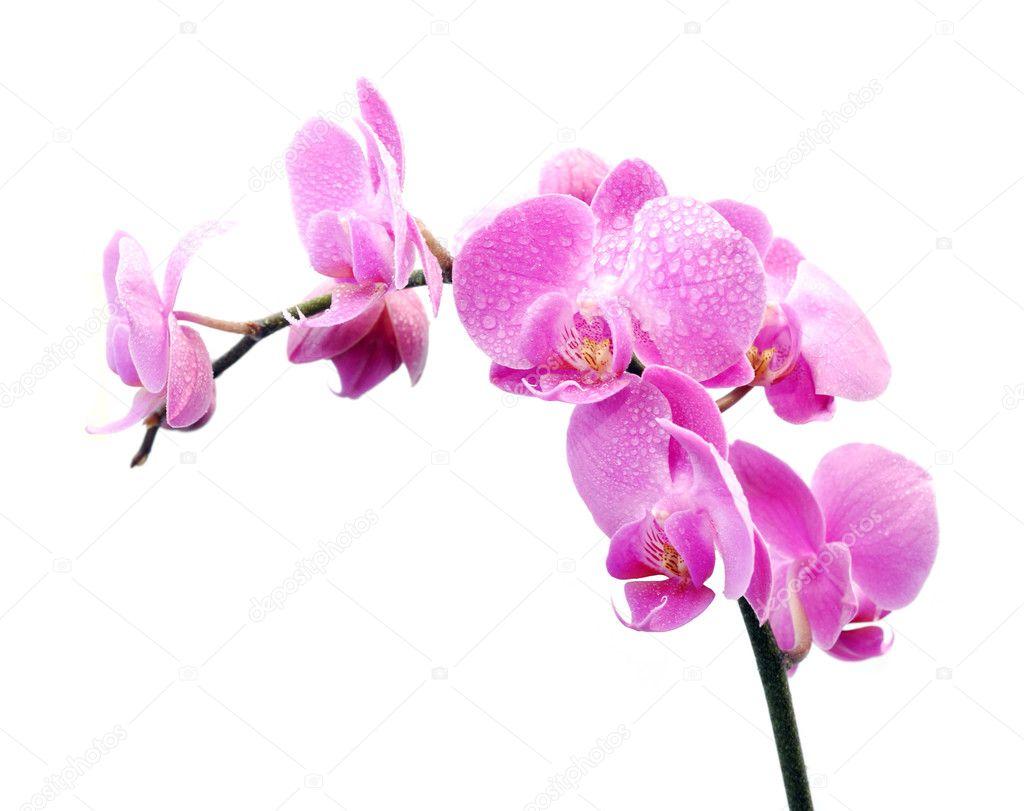 Orchidea su sfondo bianco foto stock fineshine 9960607 for Orchidea prezzo