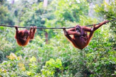 Orangutans from Sabah in Malaysian Borneo
