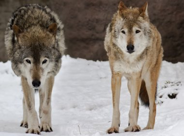 Two wolfs on the snow landscape
