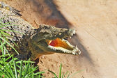 coccodrillo felice dopo lallattamento