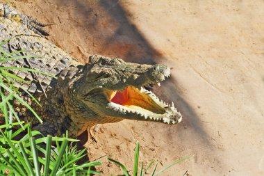 Happy crocodile after feeding