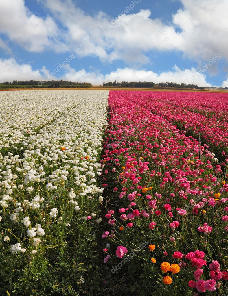A Field Of White And Purple Flowers Stock Photo Kavramm 8426421