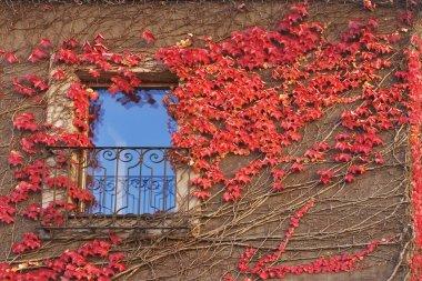 Red ivy.