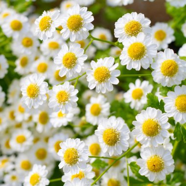 Small sunny chamomile flowers close-up