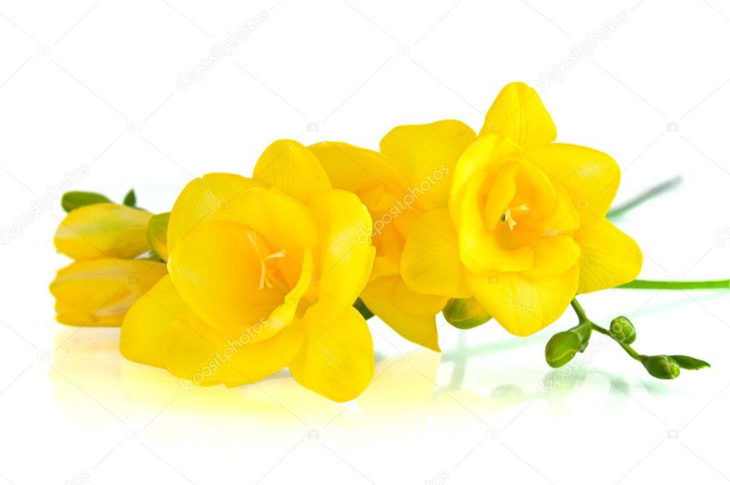 Yellow fresia on white