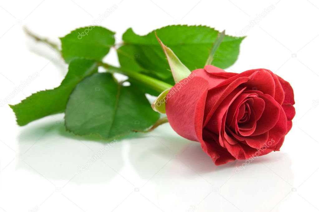 Red rose on the white