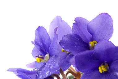 Violets flowers with water drops