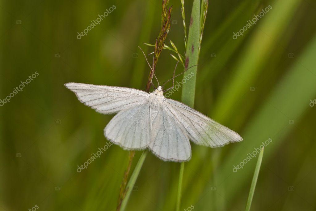 weiße Motte — Stockfoto © Argument #9666049