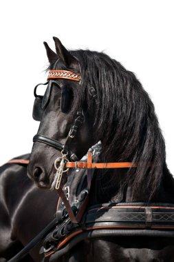 Friesian horse isolated