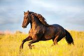 Schwarzes Friesenpferd läuft galoppierend in Feld