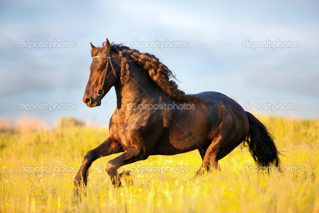 Black Friesian horse runs gallop in field