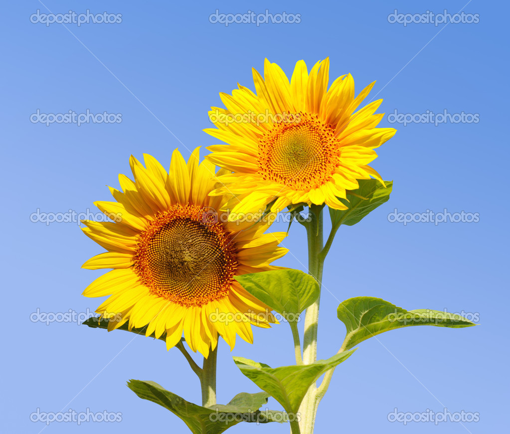 Sunflowers on background sky