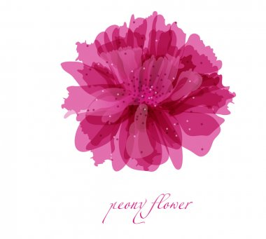 Peony flower on white background background for your design