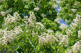 Foliage and flowers of horse-chestnut (Aesculus hippocastanum)