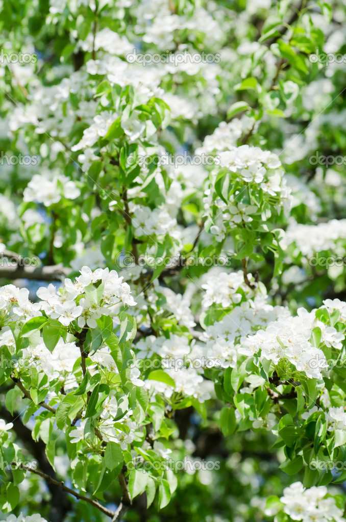 Blossoming an apple-tree in the sprin