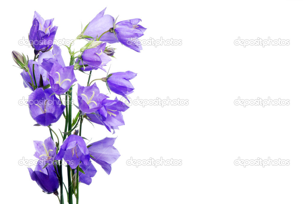 Beautiful blue flowers campanula