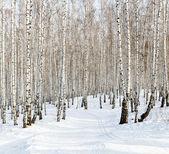 sjezdovka v zimě březový les