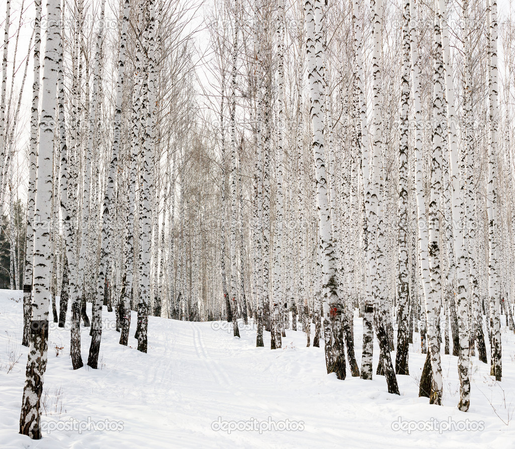 Ski run in a winter birch forest