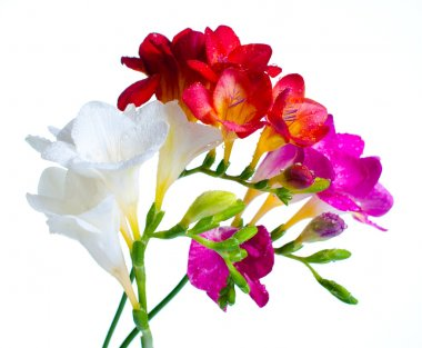 Multi-colored freesias