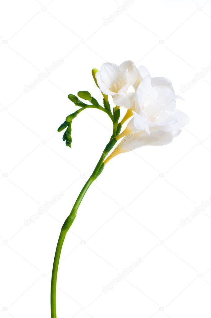 Branch of white freesia
