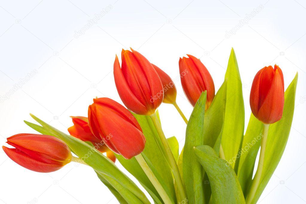 Тюльпаны фото красные и желтые