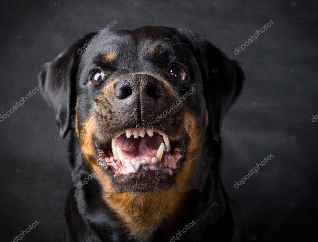 rottweiler dog images - HD2910×2219