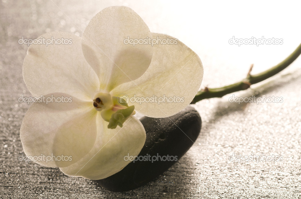 White orchid flower over wet surface with reflection
