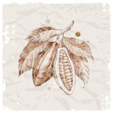 Hand drawn cocoa beans on branch