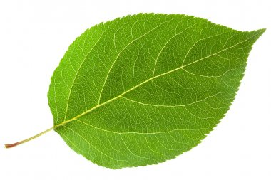 Green leaf. Isolated on a white. stock vector
