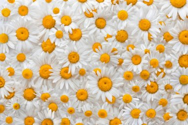 Chamomile flower background