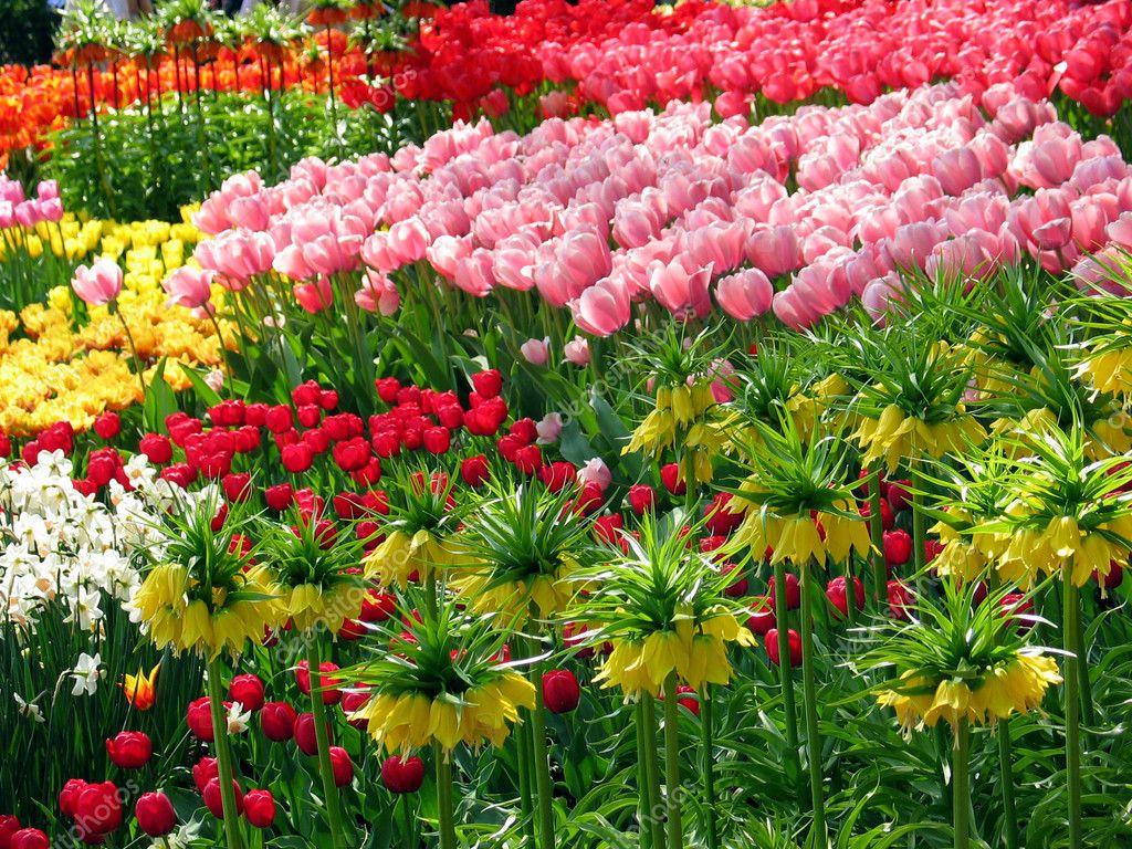 Jardin Fleuri Au Printemps Avec Les Tulipes Pays Bas Europe