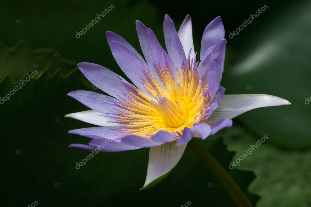 Blue water lily.