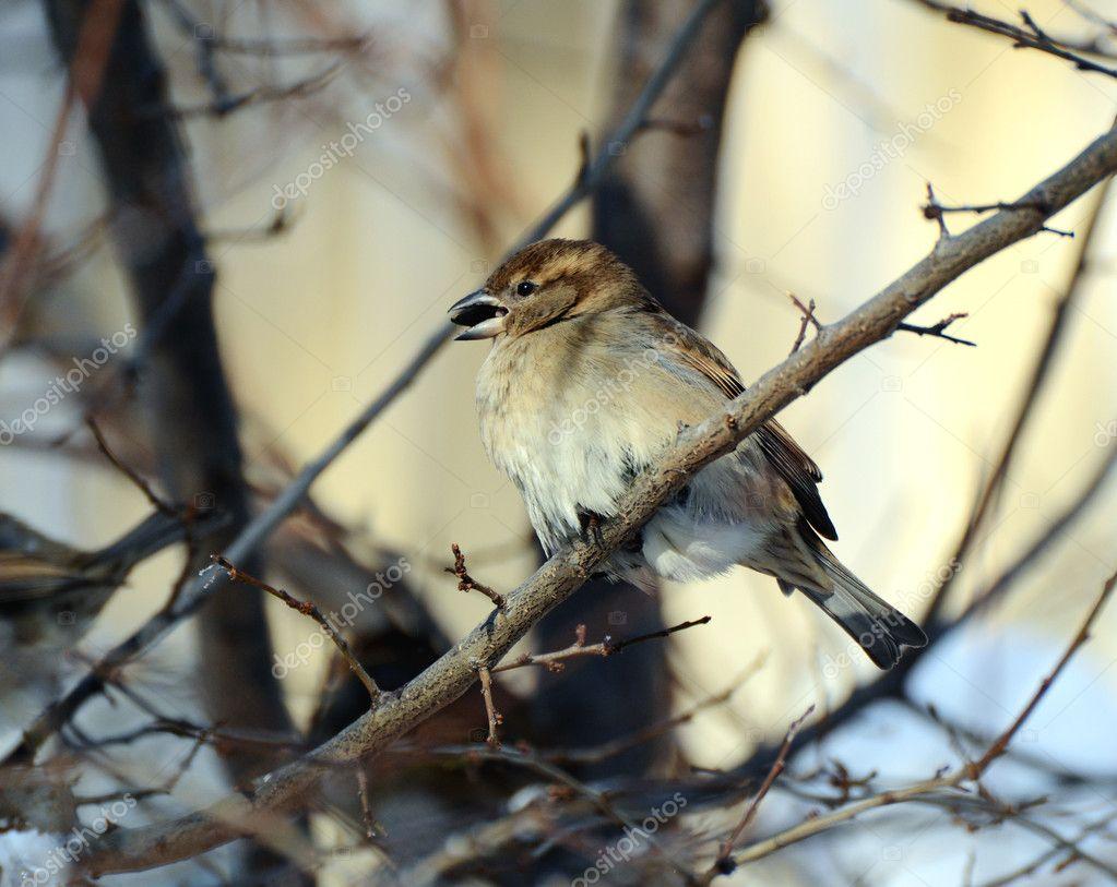 Sparrow in winter. Minus 20 Celsius.